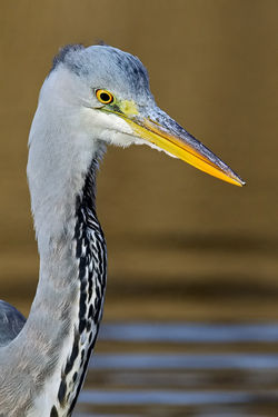 Grey Heron photographed at Grands Marais/Pre [PRE] on 21/2/2010. Photo: © Paul Hillion
