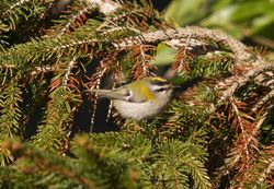Firecrest photographed at St Peter Port [SPP] on 10/3/2010. Photo: © Mike Cunningham