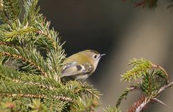 Goldcrest photographed at St Peter Port [SPP] on 10/3/2010. Photo: © Mike Cunningham