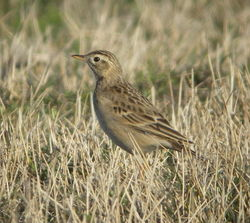 Richard's Pipit photographed at Pulias on 15/3/2009. Photo: © Mark Guppy