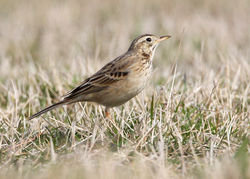 Richard's Pipit photographed at Pulias on 17/3/2010. Photo: © Chris Bale