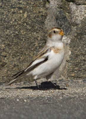 Snow Bunting photographed at La Croix Martin on 15/3/2010. Photo: © Mike Cunningham