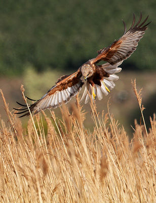 Marsh Harrier photographed at Claire Mare [CLA] on 24/3/2010. Photo: © Chris Bale