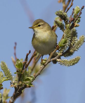 Willow Warbler photographed at Colin Best NR [CNR] on 7/4/2010. Photo: © Mike Cunningham