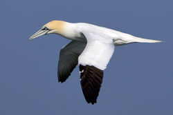 Gannet photographed at Fort Doyle [DOY] on 12/4/2010. Photo: © Paul Hillion