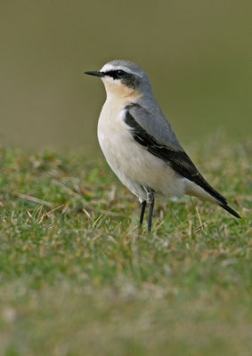 Wheatear photographed at Fort Hommet [HOM] on 9/4/2010. Photo: © Chris Bale