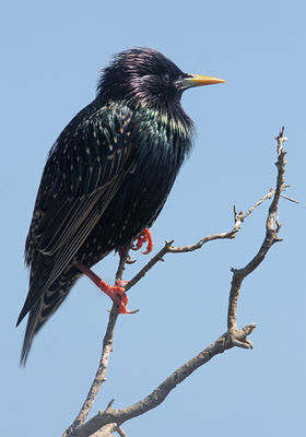 Starling photographed at Fort Le Marchant [MAR] on 9/4/2010. Photo: © Chris Bale