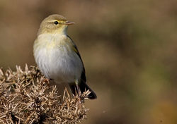 Willow Warbler photographed at Select location on 14/4/2010. Photo: © Chris Bale