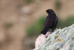 Ring Ouzel photographed at Pleinmont [PLE] on 16/4/2010. Photo: © Chris Bale