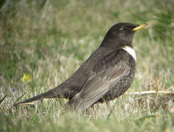 Ring Ouzel photographed at Pleinmont [PLE] on 17/4/2010. Photo: © Mark Guppy