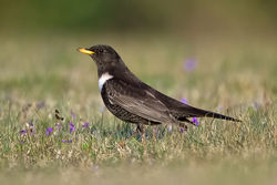 Ring Ouzel photographed at Pleinmont [PLE] on 17/4/2010. Photo: © Paul Hillion