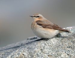 Wheatear photographed at Pulias [PUL] on 21/4/2010. Photo: © Mark Lawlor