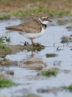 Little Ringed Plover photographed at Claire Mare [CLA] on 21/4/2010. Photo: © Chris Bale