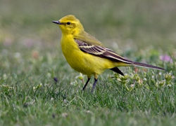 Yellow Wagtail photographed at Colin Best NR [CNR] on 21/4/2010. Photo: © Chris Bale
