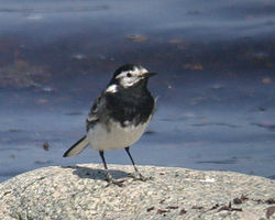 Pied Wagtail photographed at L\'Eree [LER] on 23/4/2010. Photo: © Mark Lawlor
