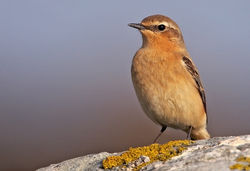 Wheatear photographed at Route de la Rocque on 24/4/2010. Photo: © Chris Bale