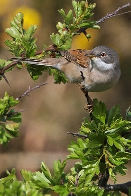 Whitethroat photographed at Pleinmont [PLE] on 24/4/2010. Photo: © Chris Bale