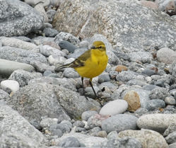 Yellow Wagtail photographed at Colin Best NR [CNR] on 24/4/2010. Photo: © Paul Bretel