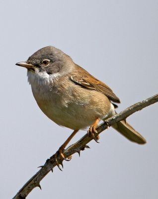 Whitethroat photographed at Pleinmont [PLE] on 25/4/2010. Photo: © Mike Cunningham