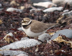 Little Ringed Plover photographed at Shingle Bank [SHI] on 25/4/2010. Photo: © Mark Guppy