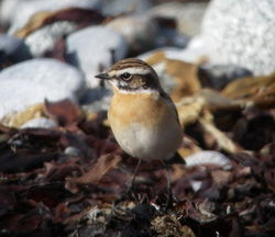 Whinchat photographed at Shingle Bank [SHI] on 25/4/2010. Photo: © Mark Guppy