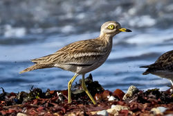 Stone Curlew photographed at Shingle Bank [SHI] on 27/4/2010. Photo: © Paul Hillion
