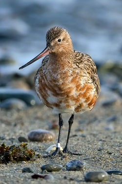 Bar-tailed Godwit photographed at Shingle Bank on 28/4/2010. Photo: © Paul Hillion