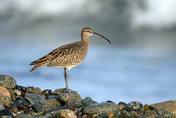 Whimbrel photographed at Shingle Bank [SHI] on 28/4/2010. Photo: © Paul Hillion