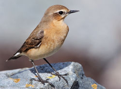 Wheatear photographed at Shingle Bank [SHI] on 27/4/2010. Photo: © Chris Bale
