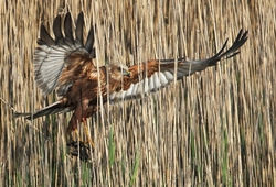 Marsh Harrier photographed at Claire Mare [CLA] on 30/4/2010. Photo: © Chris Bale