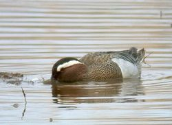 Garganey photographed at Claire Mare [CLA] on 6/5/2010. Photo: © Mark Lawlor