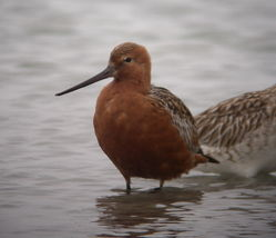 Bar-tailed Godwit photographed at L\'Eree [LER] on 8/5/2010. Photo: © Mark Guppy