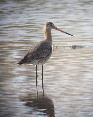 Black-tailed Godwit photographed at Claire Mare [CLA] on 8/5/2010. Photo: © Mark Guppy