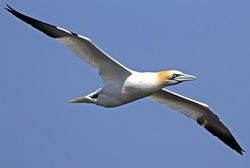 Gannet photographed at Fort Doyle [DOY] on 11/5/2010. Photo: © Mike Cunningham