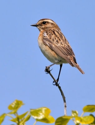 Whinchat photographed at Pleinmont [PLE] on 12/5/2010. Photo: © Chris Bale