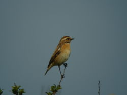Whinchat photographed at Pleinmont [PLE] on 12/5/2010. Photo: © Tony Bisson