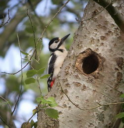 Great Spotted Woodpecker photographed at Talbot Valley on 14/5/2010. Photo: © Mark Guppy