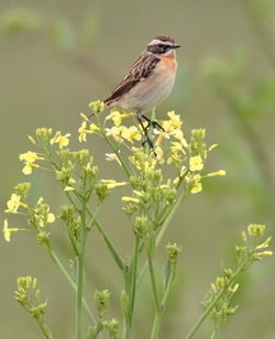 Whinchat photographed at Fort Hommet [HOM] on 15/5/2010. Photo: © Chris Bale