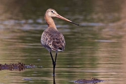 Black-tailed Godwit photographed at Claire Mare [CLA] on 12/5/2010. Photo: © Chris Bale