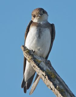Sand Martin photographed at Claire Mare [CLA] on 20/5/2010. Photo: © Phil Alexander