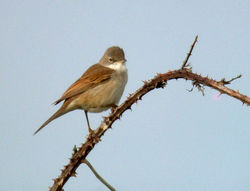 Whitethroat photographed at Pleinmont [PLE] on 16/5/2010. Photo: © Mark Lawlor