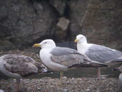 Yellow-legged Gull photographed at Les Amarreurs [AMM] on 29/5/2010. Photo: © Mark Guppy