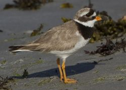 Ringed Plover photographed at Vazon [VAZ] on 28/6/2010. Photo: © Mike Cunningham