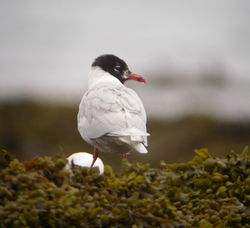 Mediterranean Gull photographed at Vazon [VAZ] on 11/7/2010. Photo: © Mark Guppy