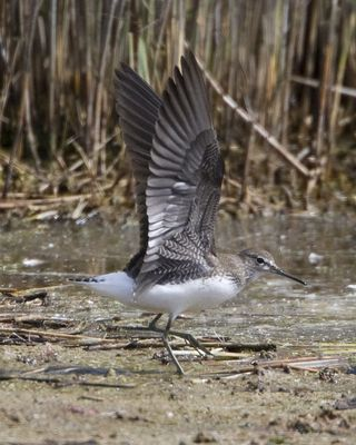 Green Sandpiper photographed at Claire Mare [CLA] on 14/7/2010. Photo: © Mike Cunningham