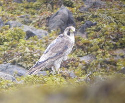 Peregrine photographed at Rue de la Rocque [RDR] on 25/7/2010. Photo: © Mark Guppy