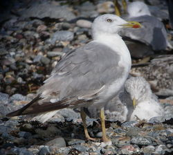 Yellow-legged Gull photographed at Chouet [CHO] on 2/8/2010. Photo: © Mark Guppy