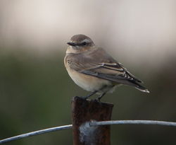 Wheatear photographed at Pleinmont [PLE] on 3/8/2010. Photo: © Mark Guppy