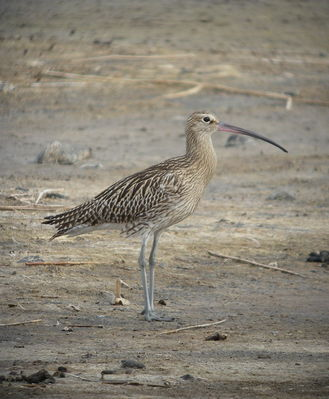 Curlew photographed at Claire Mare [CLA] on 3/8/2010. Photo: © Mark Guppy