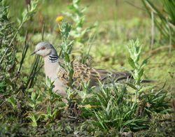Turtle Dove photographed at Rue des Bergers [BER] on 11/8/2010. Photo: © Mark Guppy